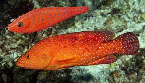 coral-hind_mamma